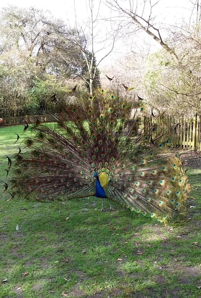 peacock London garden