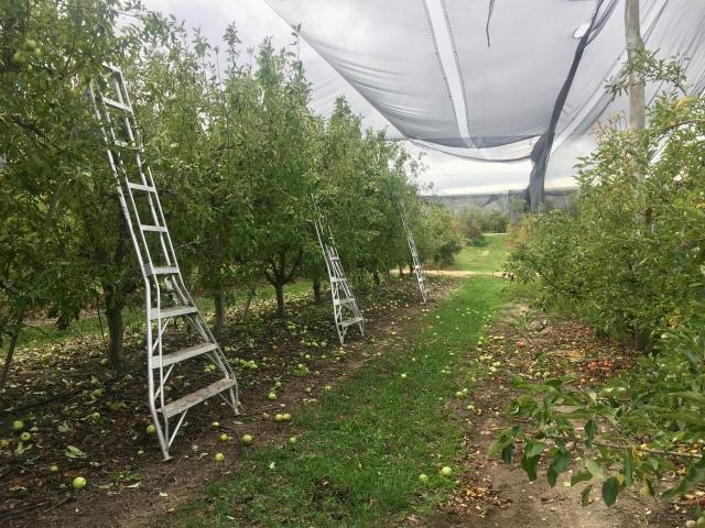 Australia farm work apples