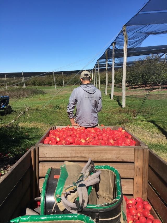 apple picking Australia farm work