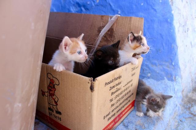 chefchaouen kittens