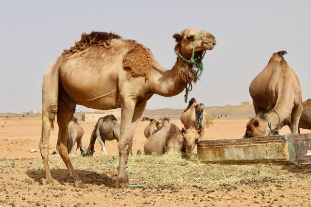 camel-morocco