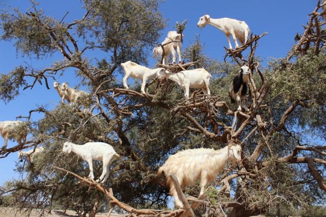 essaouira, morocco goats
