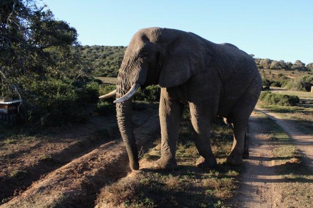 elephant travel south africa