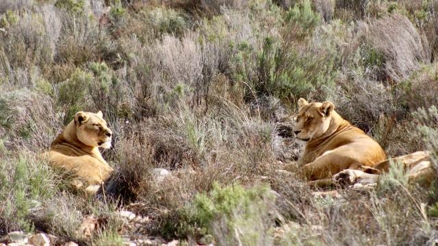 lions south africa budget safari