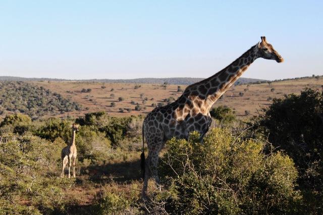giraffe and baby.jpg