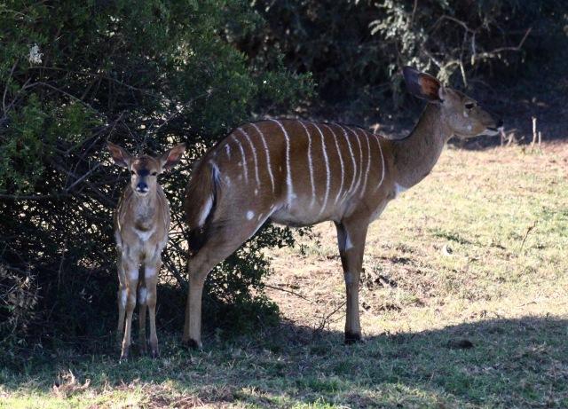kudu and baby kudu