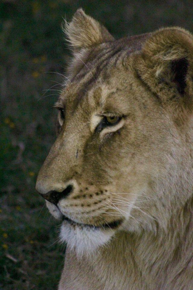 lioness closeup wildlife photography africa