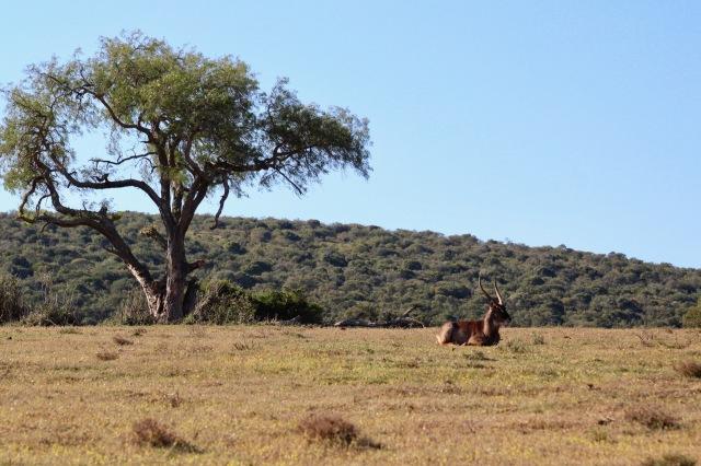 safari antelope