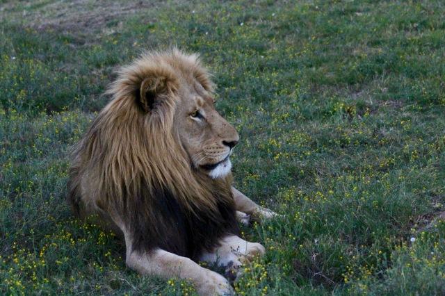 safari lion.jpg