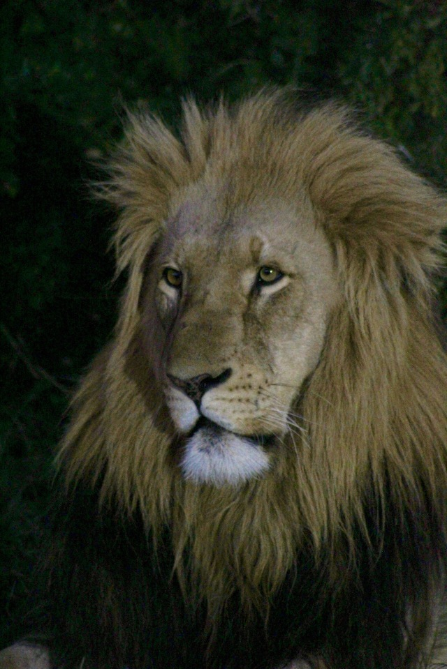 young male lion wildlife photography africa