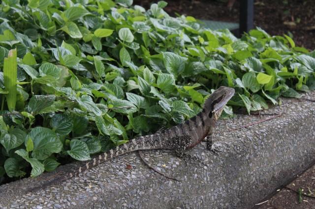 lizard australia wildlife queensland