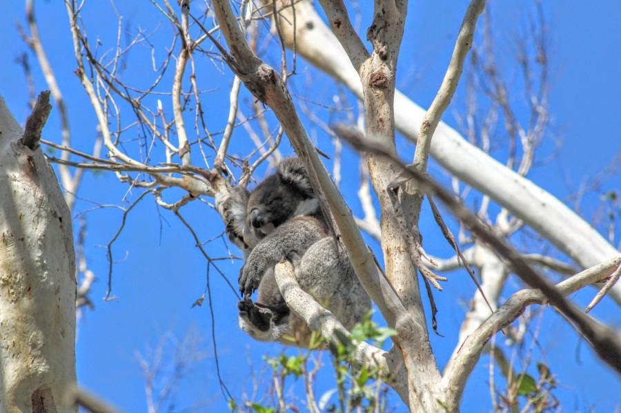 koala australian wildlife photography